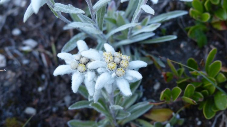 Leontopodium alpinum Edelweiss Edelweiß
